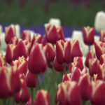 Nature's pageantry on display during Dutch tulip season