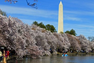Cherry blossoms, tulips and lilacs: Flower festival time
