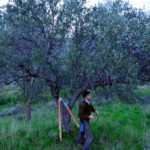 Pruning olive trees is a balance of art, lore and science