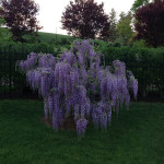 Wisteria in Bloom Outside and in the Home